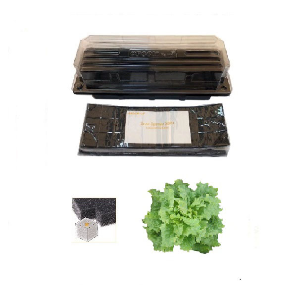 Grow Sponge-Black Seeded Simpson Heirloom Lettuce